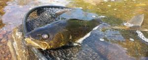 Walleye or Pickerel Headshot AA