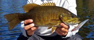 Danny Nippissing District Megabass Smallmouth Bass CCCCC