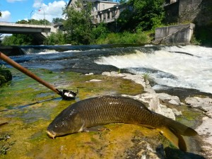Grand River Fly Rod Carp AA