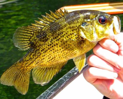 Guelph Lake Rock Bass AAA