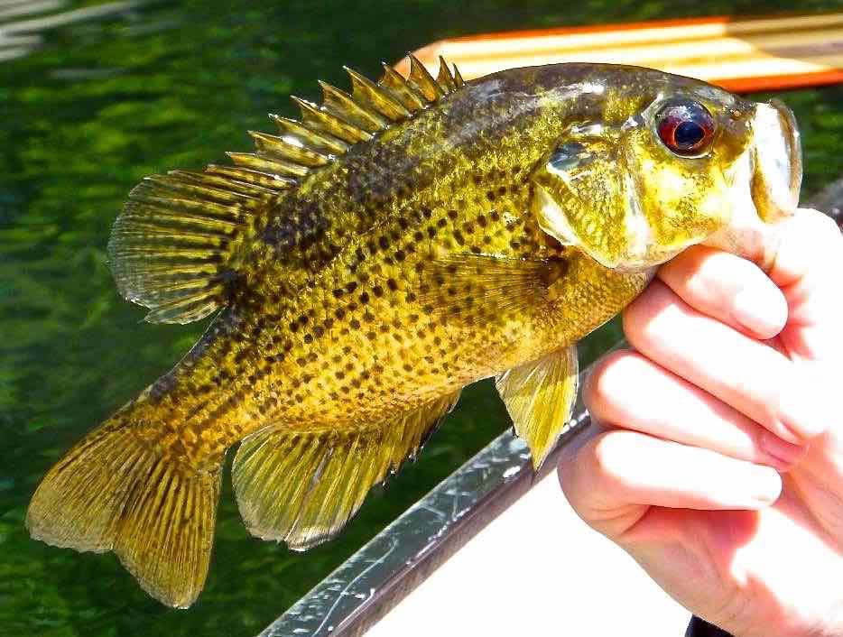 Guelph Lake Rock Bass AAA