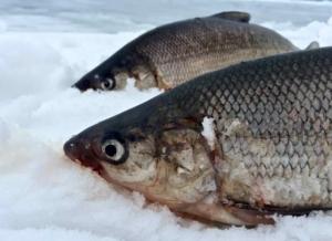A Pair of Lake Simcoe Lake Whitefish While Ice Fishing ...
