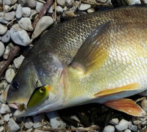 A Sheephead or Freshwater Drum from the Maitland River with a Storm Lipless Crankbait.