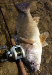 Sheephead Freshwater Drum Shimano Chronarch Saugeen River AA