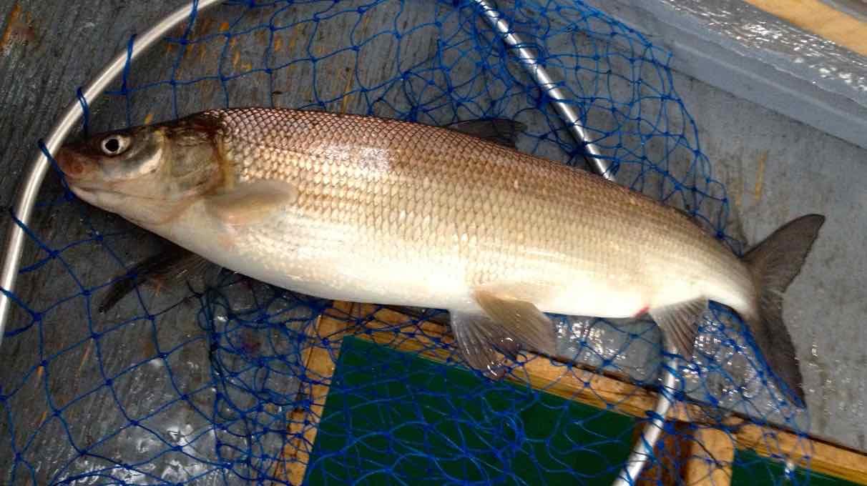 White Fish Lake Simcoe Gold Cotton Cordell CC Spoon Resized for Web