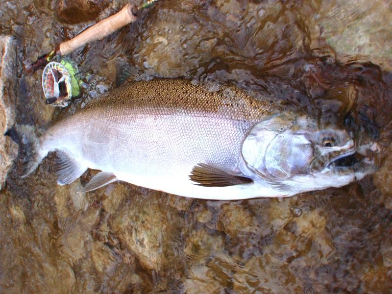 Coho-Salmon-Lamson-Fly-Reel