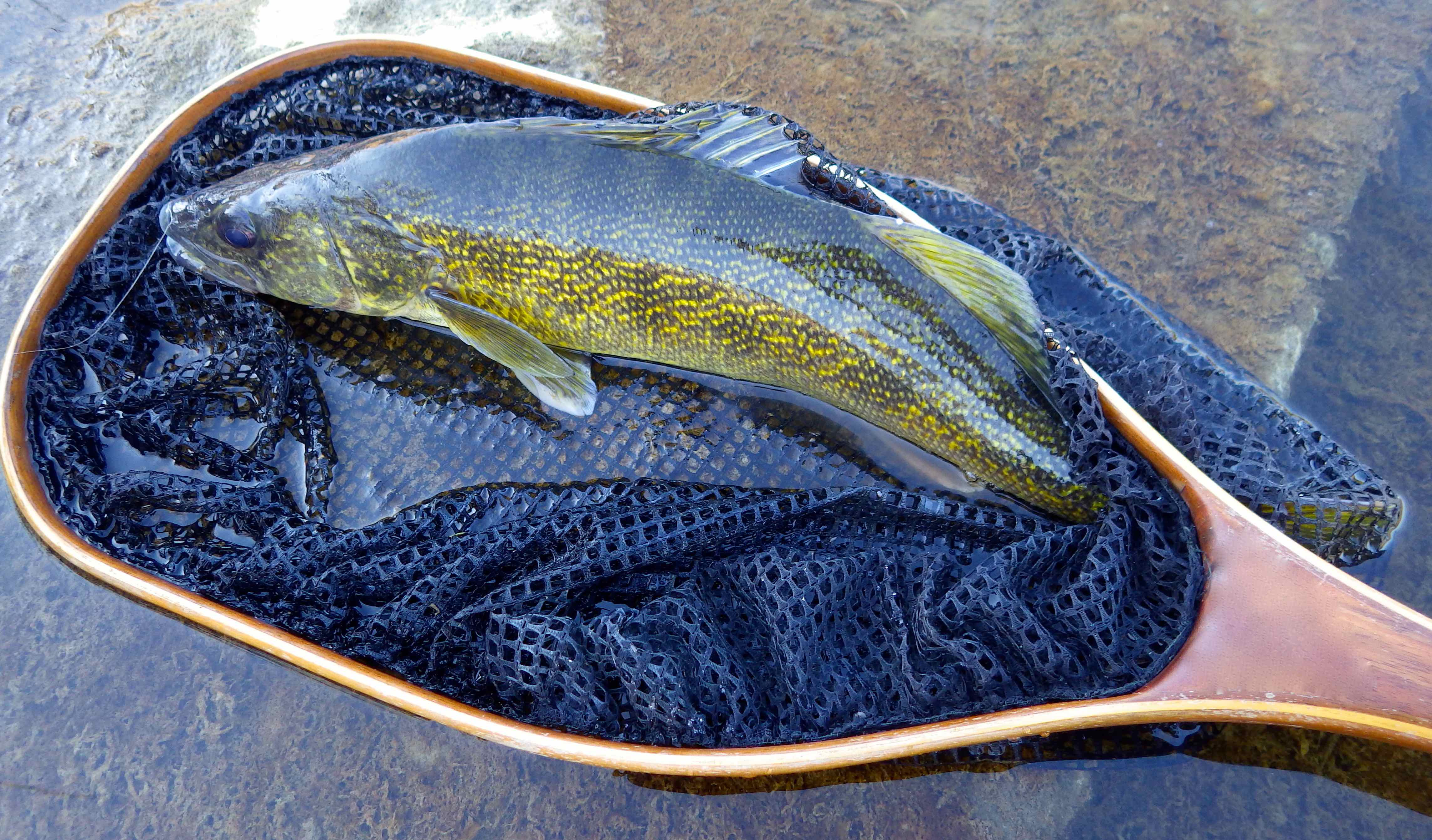 Upper Grand River Walleye on a Bead Head Nymph AA