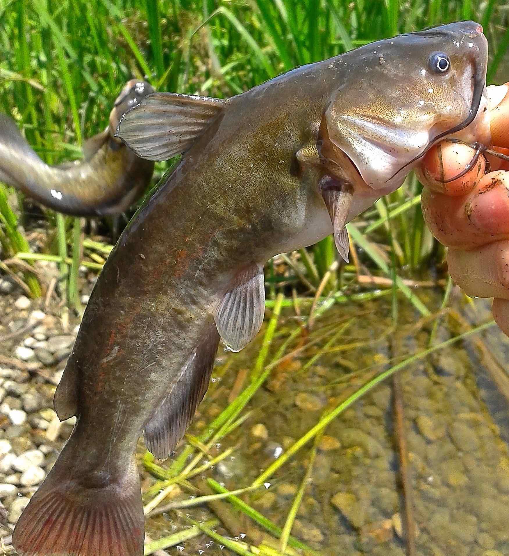 Guelph Lake Bulhead Catfish AAA