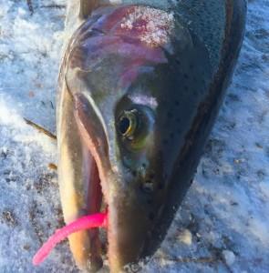 Saugeen River Steelhead HLS Custom Pink Worm AAA