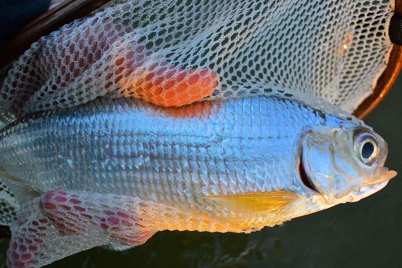 Mooneye Fishing on the Lower Grand Rver BBB