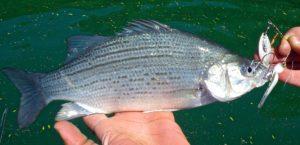 Silver Bass Niagara River on a Spinnerbait AAA