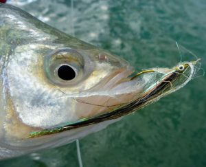 Silver Bass Sarnia Style CCC