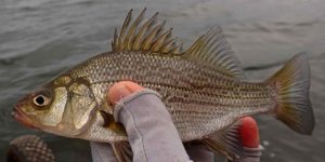 Bay of Quinte Silver Bass