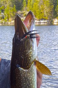 josh-north-of-sault-saint-marie-northen-pike-mepps-bucktail-spinner-lll