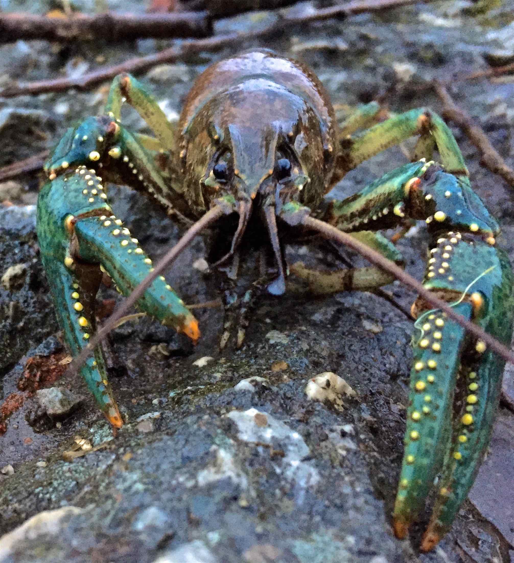 Fairy Lake Crayfish March 2017AAA