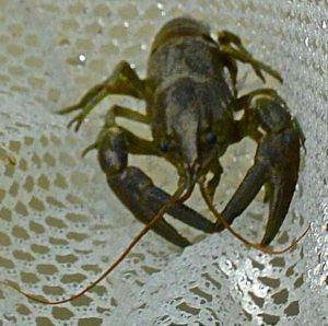 Saugeen River Crayfish AAAA