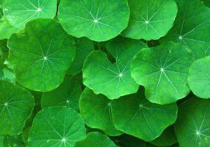 Gotu Cola leaves