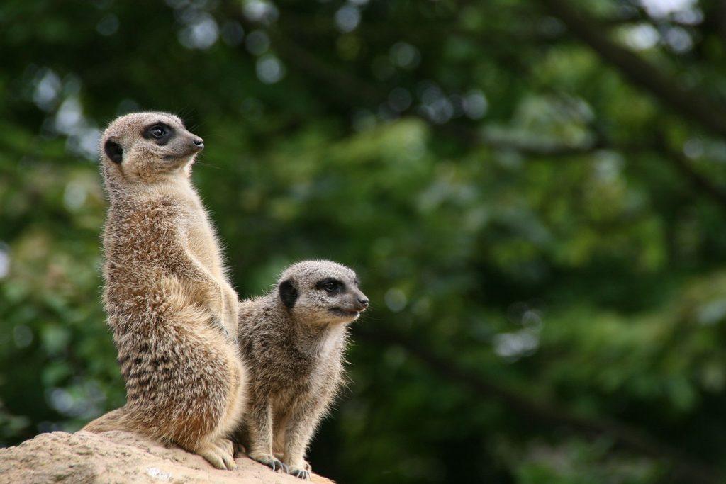 Meerkats london zoo