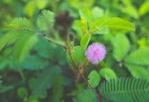 the mimosa pudica plant and its health benefits