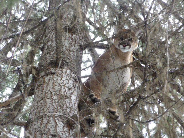 Our Idaho Cougar are BIG!