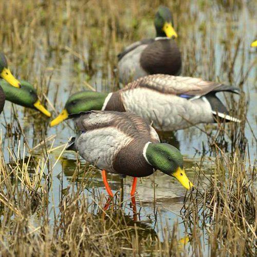 duck group1 500x500 - Mallard 6 Pack