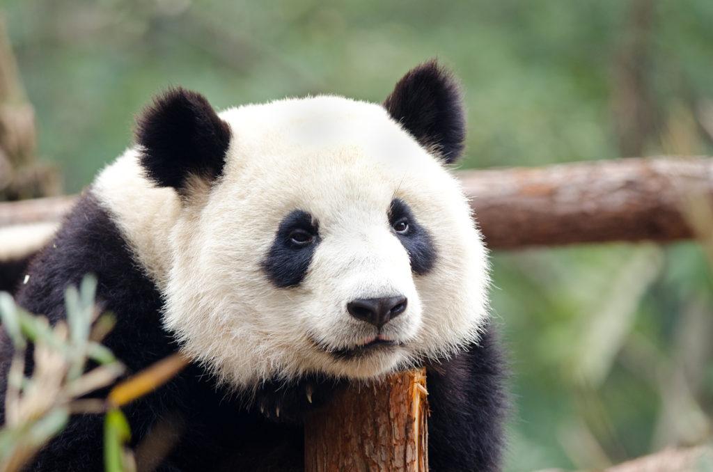 Sad Panda for Netflix binge show watching