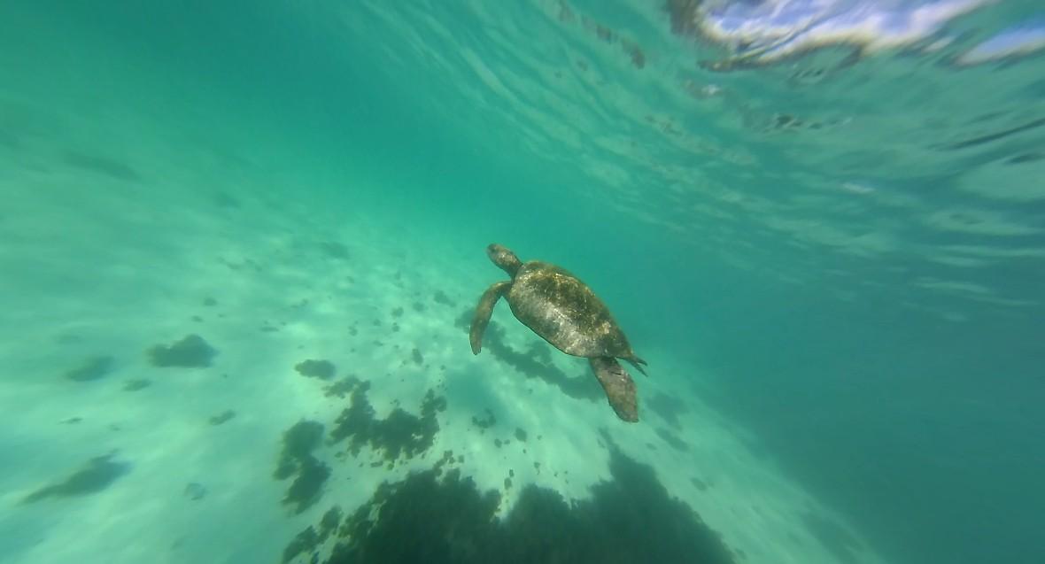 Sea turtles in the Galapagos