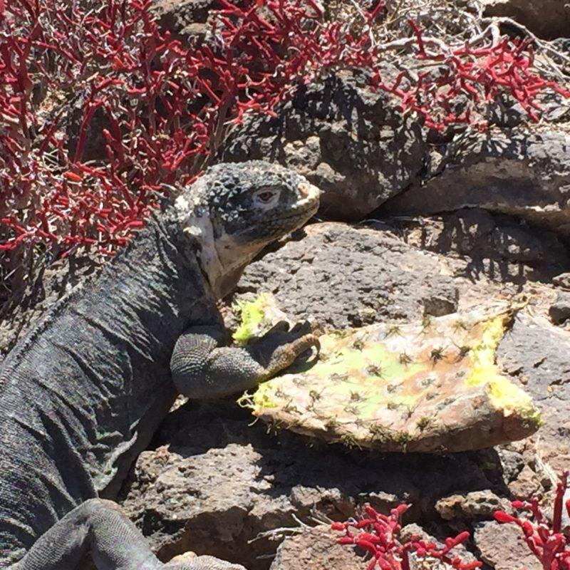 iguana galapagos food