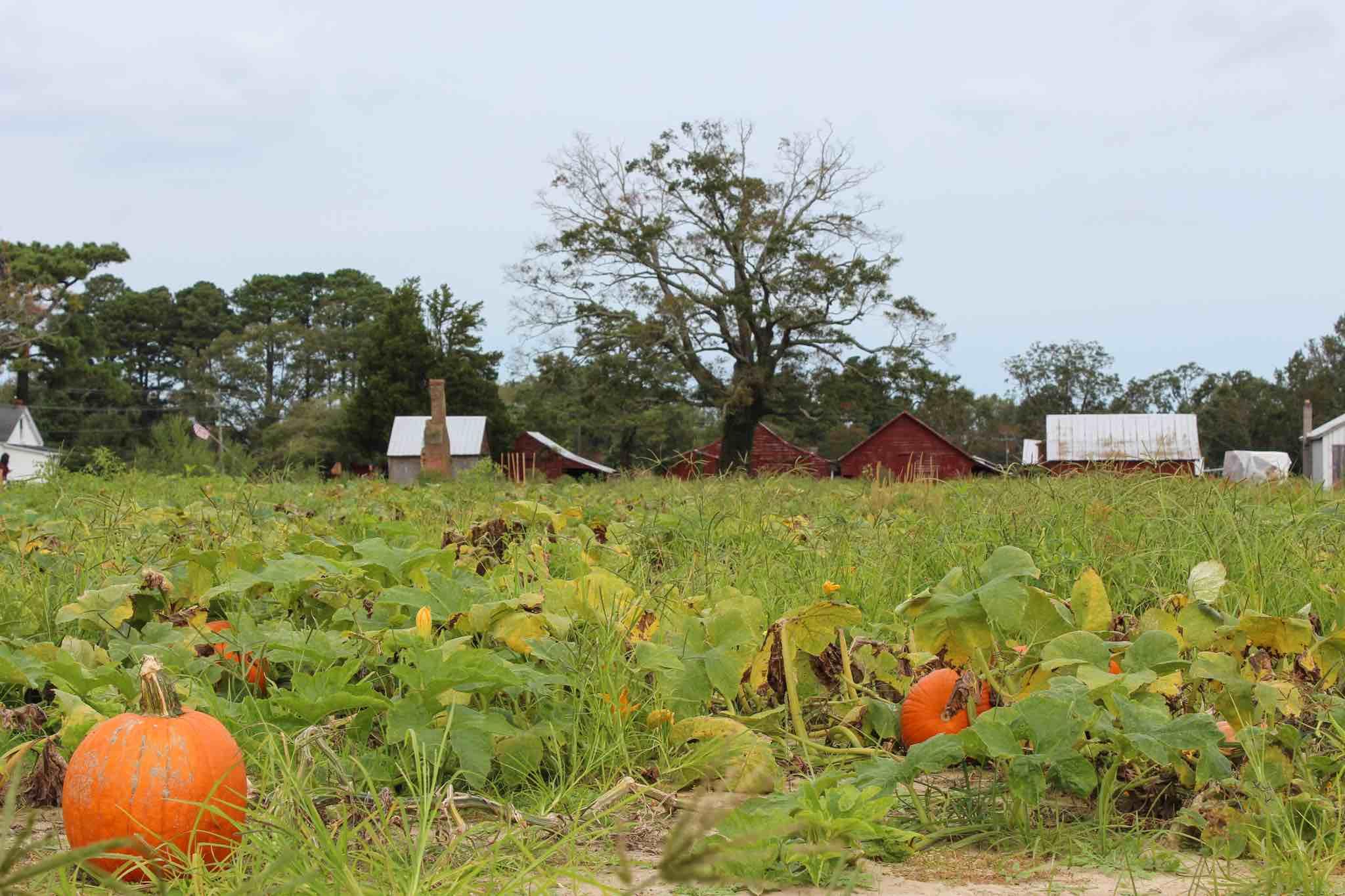 The Pumpkin Picking