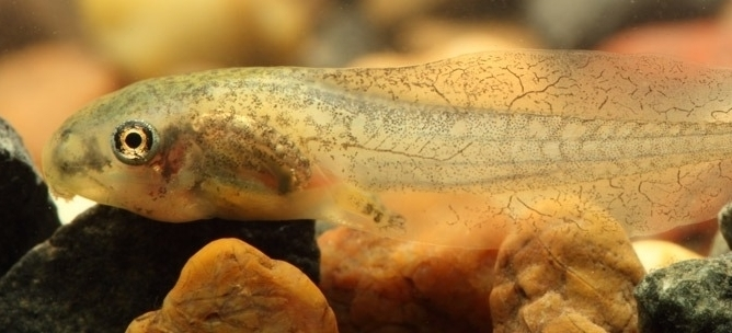 Dwarf green tree frog tadpoles