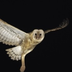 Increased house mouse (Mus musculus) abundance in wetlands in response to Typha sp. flowering: implications for understanding wetland occupancy patterns of the eastern grass owl (Tyto longimembris)