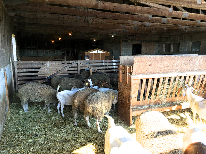 wendalane-farm-sheep-goats