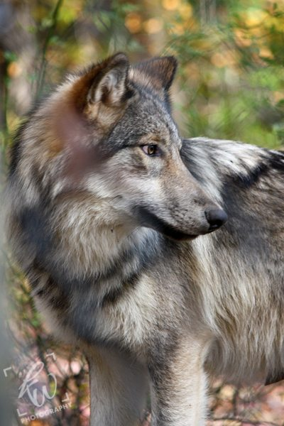 Animal photography from Lakota Wolf Preserve.
