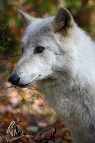 Professional photography of the wolves at Lakota Wolf Preserve.
