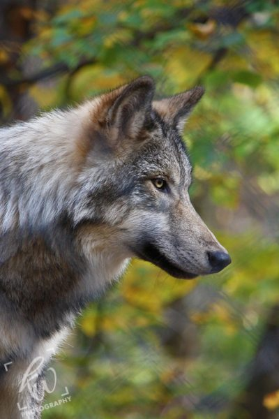 Animal photography of the wolves at the Columbia, NJ Lakota Wolf Preserve.