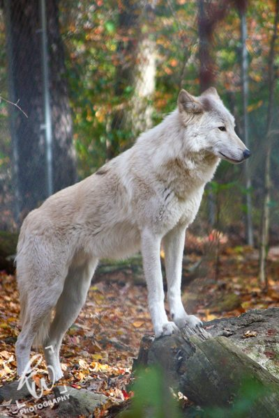 Professional photography of wolves in New Jersey.
