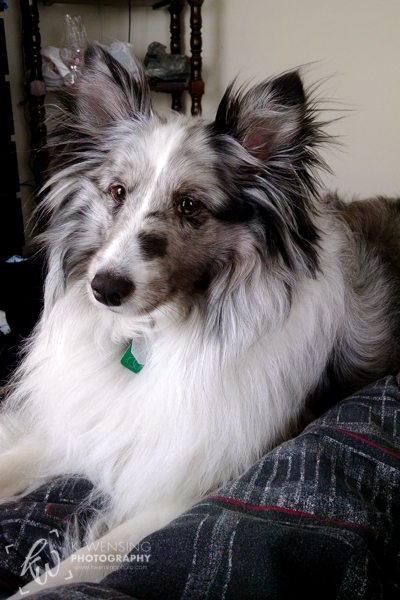 Beautiful bi-blue sheltie posing for the camera.