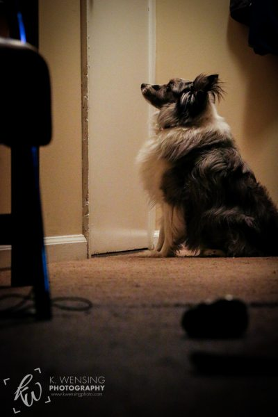 Shetland Sheepdog waits by the door for her turn to go outside.