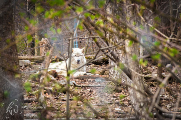 Arctic wolf hiding back in the trees.