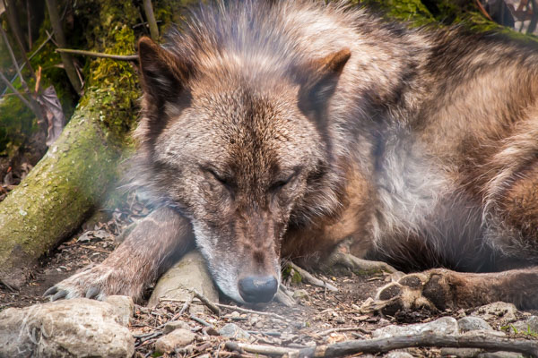 Sleeping wolf at Lakota Wolf Preserve in Columbia, New Jersey.
