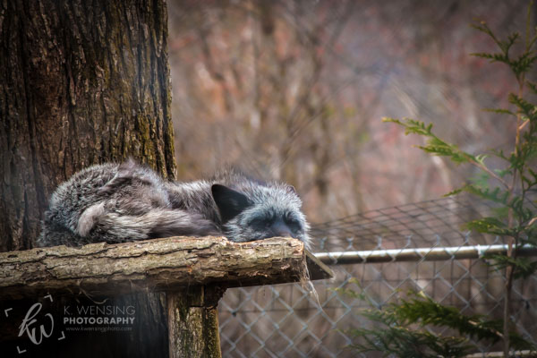 Sleepy fox at Lakota Wolf Preserve.