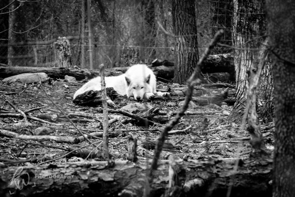 Black and white photo of arctic wolf.