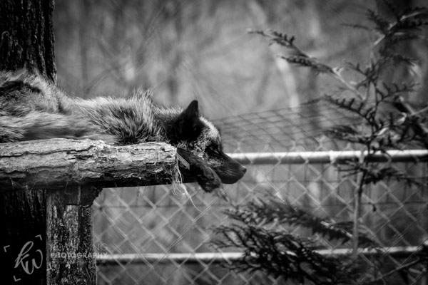 Black and white photo of fox.
