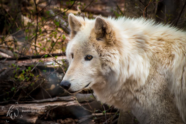 Arctic wolf being observant.