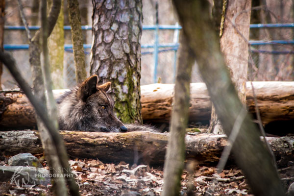 Resting black wolf at Lakota Wolf Preserve.