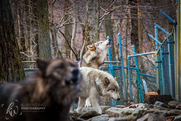 Howling wolves of Lakota Wolf Preserve.