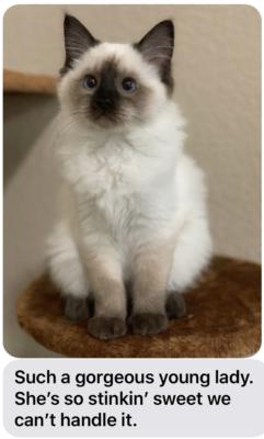 Ragdoll Photo Gallery - Ragdoll Kittens - Southlake | Texas Ragdoll