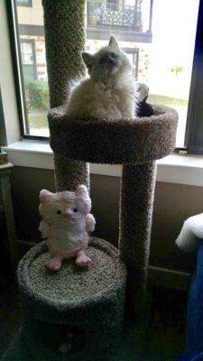 Ragdoll Photo Gallery - Ragdoll Kittens - Southlake | Texas Ragdoll