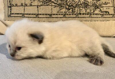 Ragdoll kittens for sale in Dallas Metroplex area   Texas Ragdoll