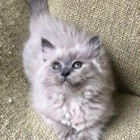 Texas Ragdoll Kittens - Ragdolls - Ragdoll Cats